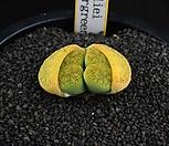 XP1477-LT. lesliei v. venteri [Ventergreen]녹변천옥(황화)2두|