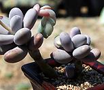 묵은문스톤군생 Pachyphytum Oviferum Moon Stone