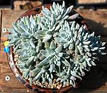 묵은화이트그리니자연군생(19두) Dudleya White gnoma(White greenii / White sprite)