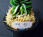 예원(중)/부귀란/난/동양란/서양란/공기정화식물/화분/나라아트|