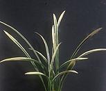 금기관4~5촉/동양란/풍란/공기정화식물/난/나라아트|