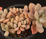 석연화(408-73)|Pachyveria Pachyphytodies