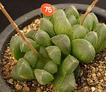 쿠페리(408-75)|Haworthia cooperi