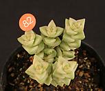 희성금(408-82)|Crassula Rupestris variegata