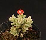 희성금(408-84)|Crassula Rupestris variegata