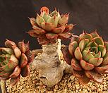 푸미라목질(408-103)|Echeveria pumila