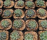 블루엘프[랜덤]|Echeveria setosa v deminuta