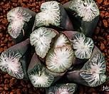 무장-武藏(MUSASI) 만상|Haworthia maughanii