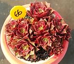 롱기시마 16두군생-66|Echeveria longissima