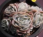포토시나군생|Echeveria elegans Potosina