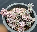 미크로칼릭스|Echeveria amoena Microcalyx