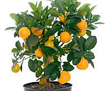 네이블 오렌지 나무 중품 5년생/국내 최초 판매|