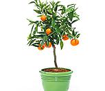 감귤나무 15년생 귤나무 밀감나무/올해 열매 열립니다.|