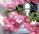 겹벚꽃나무 묘목|
