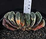 XP1551-옥선금(玉扇錦)|Haworthia truncata variegated