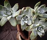 환엽블러프레쳐스(4두)목대|Dudleya farinosa Bluff Lettuce