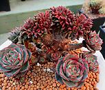 환엽롱기시마 철화한몸군생 4-510|Echeveria longissima