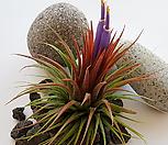 [풀장사]/ 틸란드시아 이오난사/공기정화식물/먼지제거식물/반려식물|