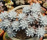 대품목대화이트그리니군생|Dudleya White gnoma(White greenii / White sprite)