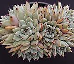 원종자라고사(적심) Echeveria mexensis Zaragosa
