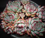 황홀한연꽃 (묵은둥이)한몸자연|Echeveria pulidonis