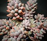 베이비핑거(두몸)|Pachyphytum Machucae (baby finger)