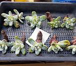 야생 파키피덤(Original) 10두 모듬판매(도매문의 환영)|Dudleya pachyphytum