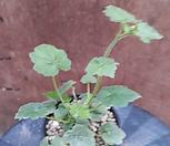 톨미아~잎가운데서 아가가 자라는 신비스런 식물입니다.|