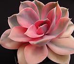 웨스트레인보우50 Echeveria rainbow