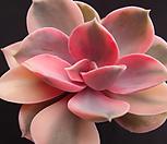 웨스트레인보우53 Echeveria rainbow