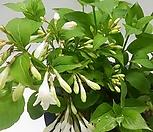 흰병꽃 중품 <야생-노지월동 가능>|
