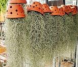 토분 수염틸란드시아(수염풍성)-대품 /먼지먹는하마|