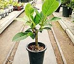 뱅갈고무나무(중품)(40~50센치)|