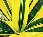 신사골드산세베리아/고급스러운 금빛무늬|