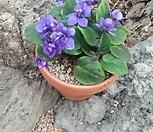 블라루미니바이올렛|