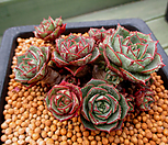 환엽롱기시마 21두이상한몸군생 4-589|Echeveria longissima