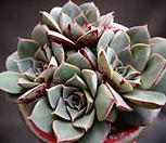 롱기시마(벨바라적심)한몸|Echeveria longissima