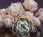 묵은라즈베리아이스(한몸)|Echeveria Rasberry Ice