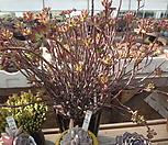 묵은홍치아왕대품|Echeveria macdougallii