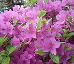 영산홍 연산홍 철쭉/자산홍 베니 석암 백철쭉 묘목|