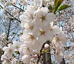 왕벚꽃나무 묘목|