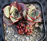 원종롱기시마군생|Echeveria longissima