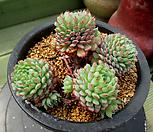 글로블로사 자연군생 4-617|Echeveria globulosa