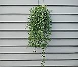 멋지게 늘어진~디시디아 공중행인플렌트 /공기정화식물로 인기|