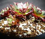 특가-아즈타트랜시스목질|Echeveria longissima var aztatlensis