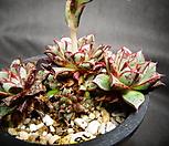 특가-아즈타트랜시스묵은둥이|Echeveria longissima var aztatlensis