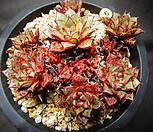 아즈타트랜시스(자연)묵은둥이|Echeveria longissima var aztatlensis