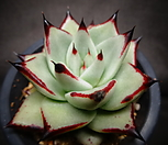 환엽멕시코야생마리아|Echeveria agavoides Maria