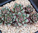 아즈타트랜시스 22자연군생한몸 Echeveria longissima var aztatlensis
