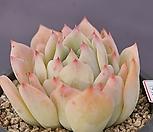 에케베리아마리아묵은둥이1552|Echeveria agavoides Maria